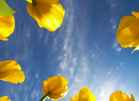 Tulips and sky